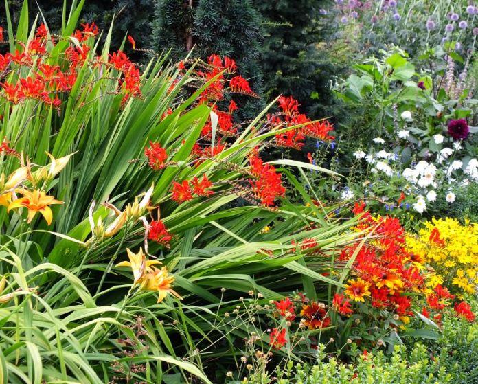 Crocosmia and Daylilies