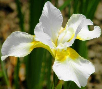 Siberian Beardless Iris