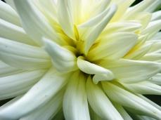 Semi-Cactus Kenora Jubilee