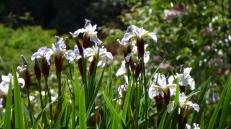irises in a bog garden