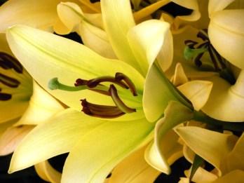 L = lily