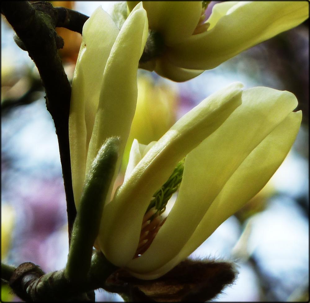 magnolia butterflies 3