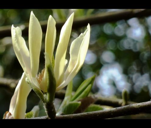 Yellow Magnolia Butterflies