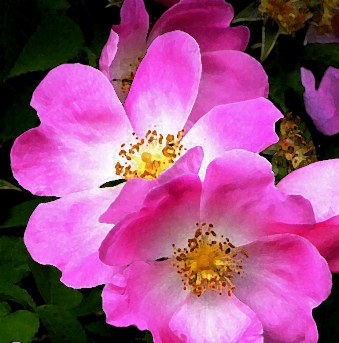 Rose Complicata watercolour