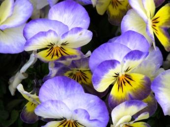 V = viola blue