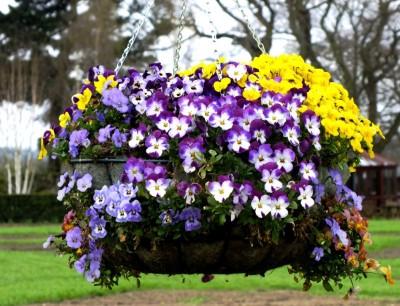 V = viola hanging basket