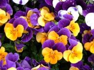 V = viola orange