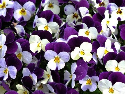 V = viola purple and white