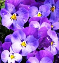 V = viola purple