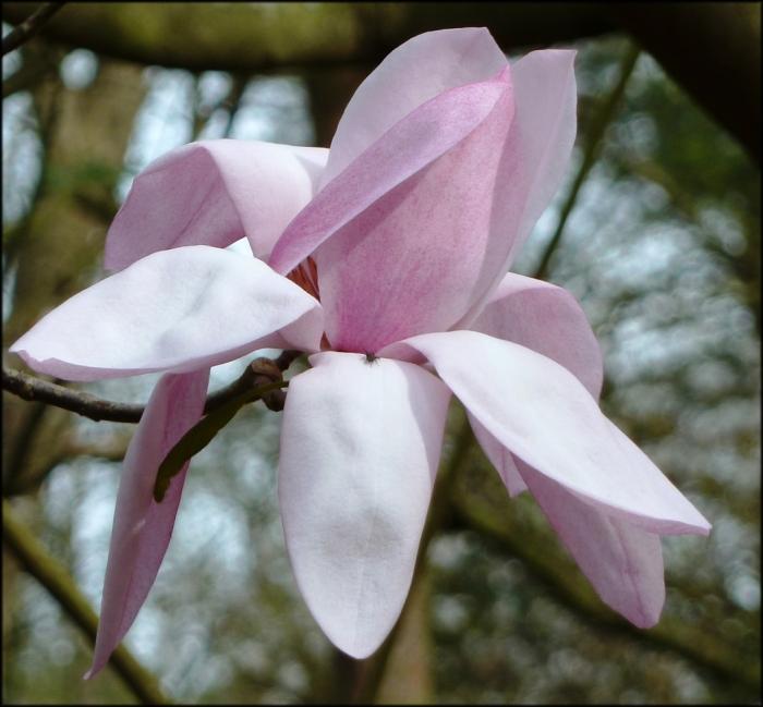 magnolia darjeeling 2