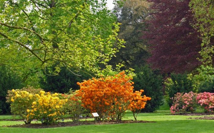 Spring Sensation: RhododendronFloradora