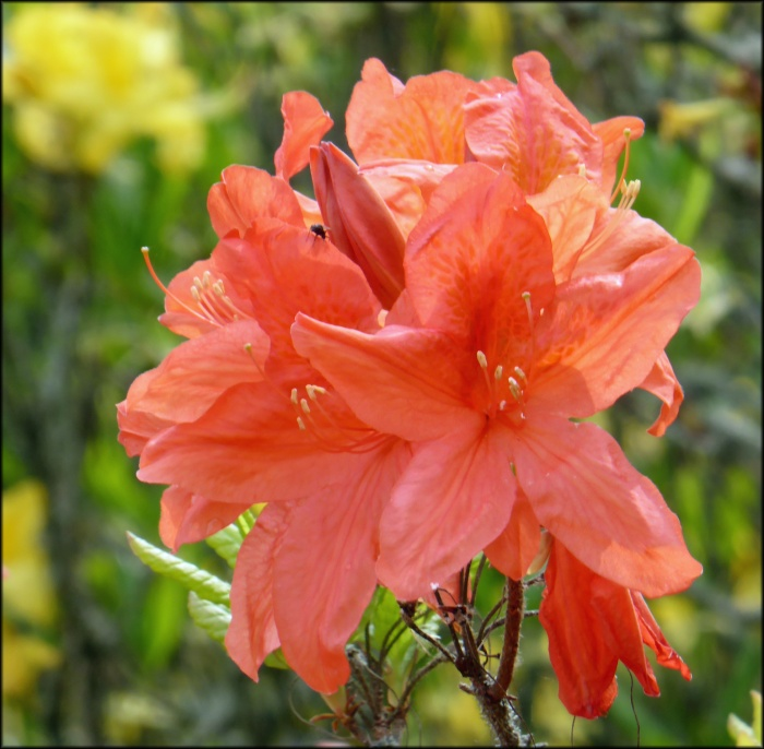 rhododendron-japonicum
