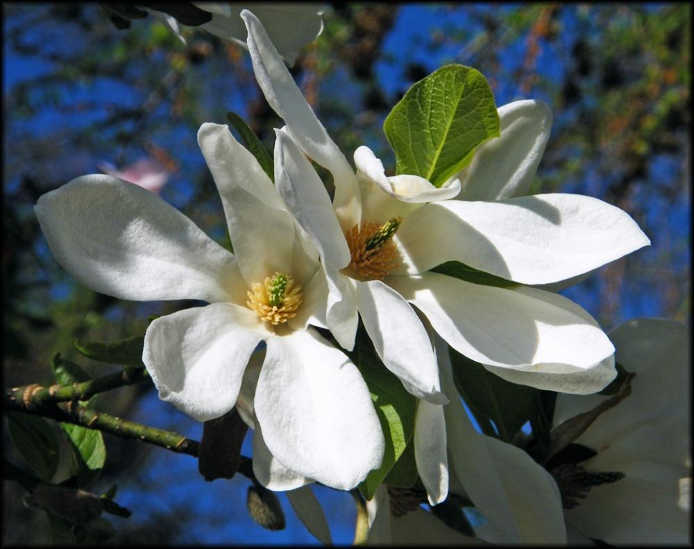 white-magnolia