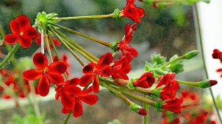 dry-brush-geranium