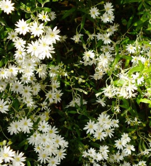 Starry flowers