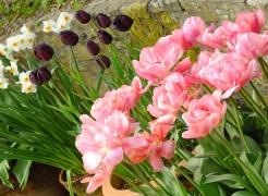 Pots of tulips