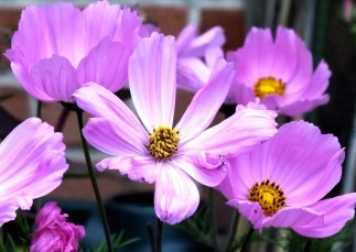 Pale Pink Cosmos