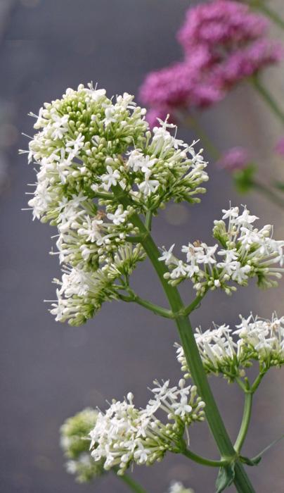 White Valerian