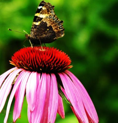 Butterfly on Cone Flower