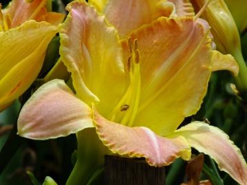 My daylily - Hemerocallis