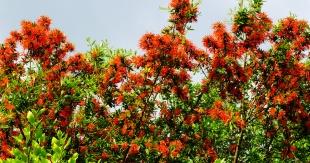Chilean Firebush