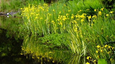 Iris pseudacorus (Flag Iris)