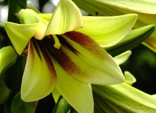 Cardiocrinums (Hymalayan Lily)