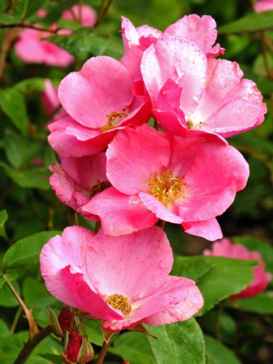 Floribunda-Rosa-'Betty-Prior'