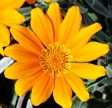 Gazania-'Northbourne'