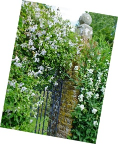 north-wall---white-clematis