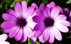 Osteospermum-'Bodegas-Pink'