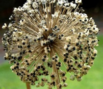 Giant Allium seeds