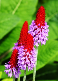 primula-vialii (red-hot-poker-primrose)