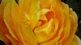 Rosa-Wisley-2008-'Ausbreeze'