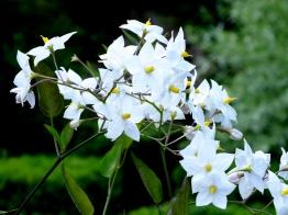 Solanum-Laxum-'Album'