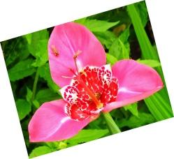 Tigridia (Tiger Flower)
