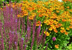 Helenium and Salvia