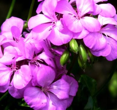 P = Pelargonium (4)