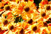Helenium-Chipperfield-Orange