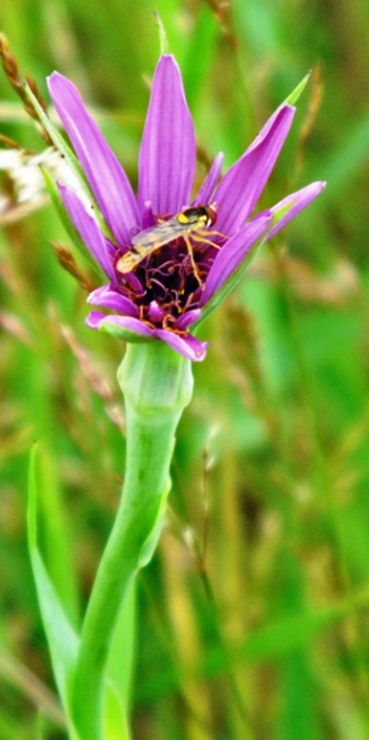 purple-flower and hover fly