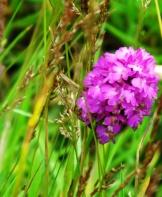 pyramidal-orchid