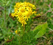 Ragwort-and-cinnabar moth-caterpillars