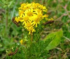 Ragwort-and-cinnabar moth-caterpillars