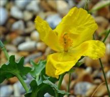 yellow-horned-poppy