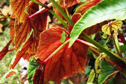 Back of a begonia