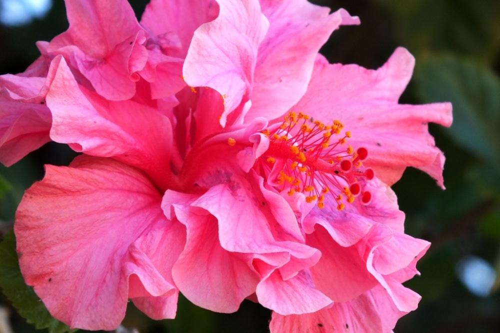 double hibiscus 3