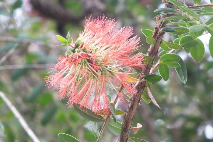 Myrtle Melaleuca Hypericifolia