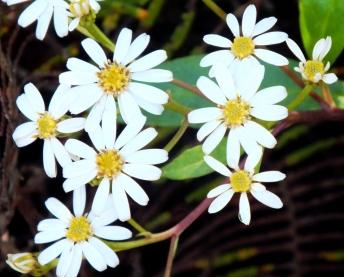Olearia phlogopappa