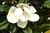 Magnolia Grandifolia