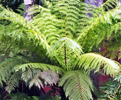 Hairy Tree Fern